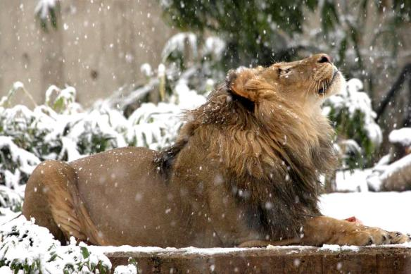 luke-the-lion-watching-falling-snowflakes-at-smithsonian-zoo-photography-by-mehgan-murphy