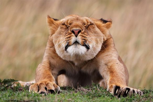 stretching-lion-photography-by-stephan-tuengler