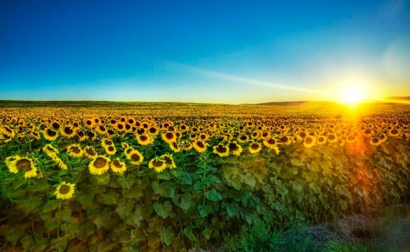 sunflowers-at-sunset-photography-by-treyratcliff