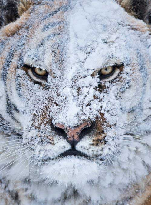 tiger-after-a-snow-fight-photography-by-joe-mary-ann-mcdonald