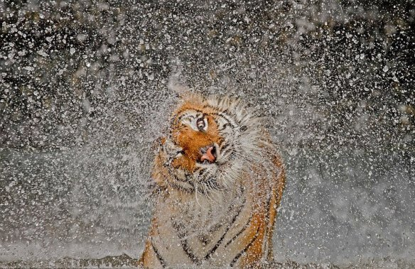 tiger-shaking-itself-dry-photography-by-ashley-vincent