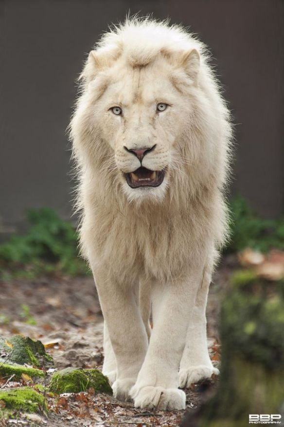 white-lion-photography-by-bert-broers