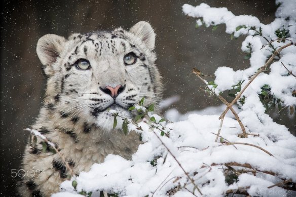 young-snow-leopard-photography-by-elke-os