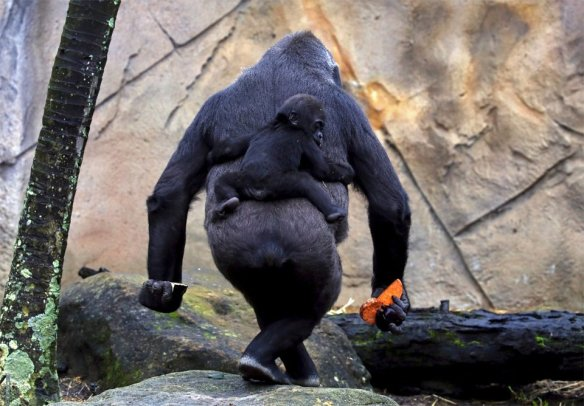 baby-gorilla-mjukuu-rides-on-the-back-of-his-mother-photography-by-david-gray