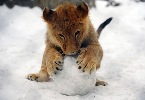 baby-lion-plays-with-snowball-photography-by-alexa-stankovic
