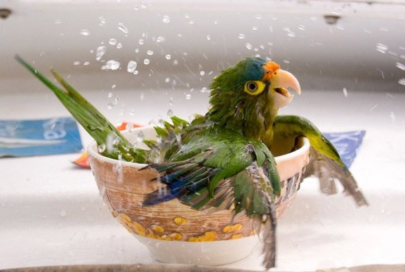 bathing-parrot-photography-by-cesar-badilla