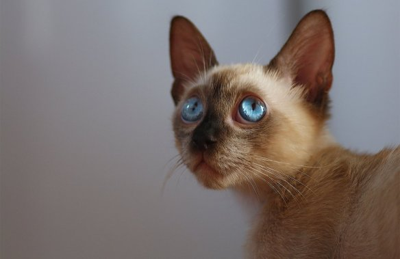 blue-eyed-cat-photography-by-iryna