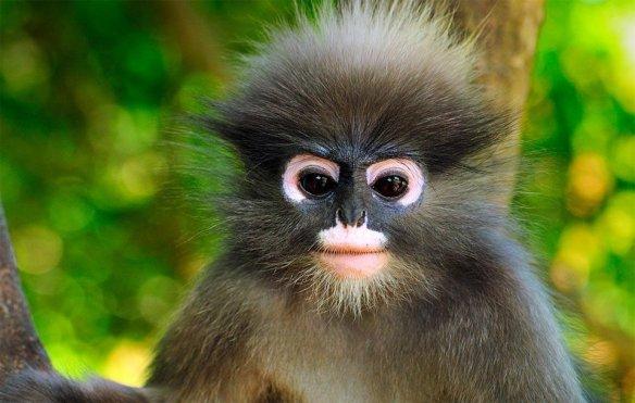 dusky-leaf-monkey-thailand-photography-by-thomas-marent