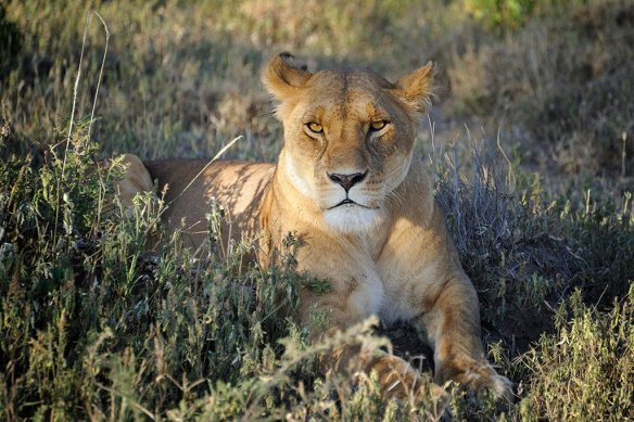 female-lion-in-ndutu-conservation-area-tanzania-photography-by-dianasch