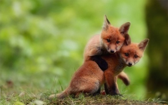 two-cute-baby-fox-brothers-photography-by-florian-girardin