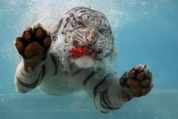 underwater-white-tiger-photography-by-fernando-pinto