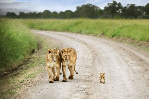 Baby Lion Proud Walk | Photography by ©David Lazar