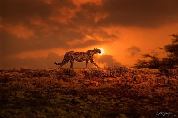 Cheetah at sunset, Kenya | Photography by ©Kulmiye Chan