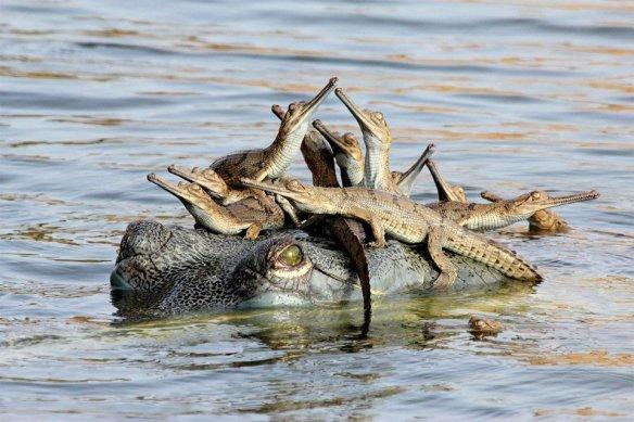 crocodile-family-gathering-photography-by-udayan-rao-pawar