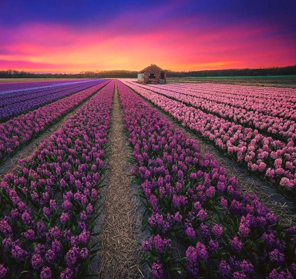 fields-of-blooming-hyacinth-flowers-near-amsterdam-photography-by-albert-dros