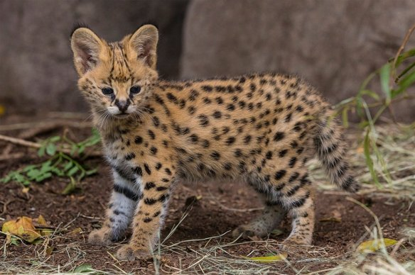 Five-Week-Old African Serval Kitten | Photography by ©San Diego Zoo
