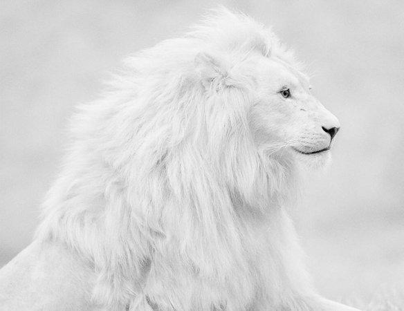 Beautiful Albino Lion | Photography by ©Shlomi Nissim