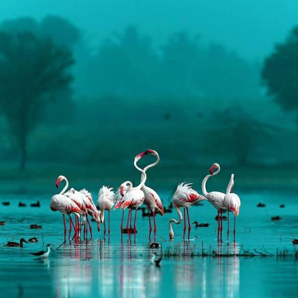 Flamingos | Photography by ©Chandrabhal Singh