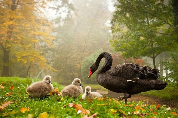 Black Swan With Babies | Photography by ©Robert Adamec