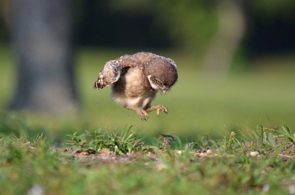 Baby Owl Learning To Fly | Photography by ©Peter Brannon.jpg